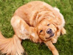 Bagaimana Untuk Menghilangkan Kutu Dari Seekor Anjing